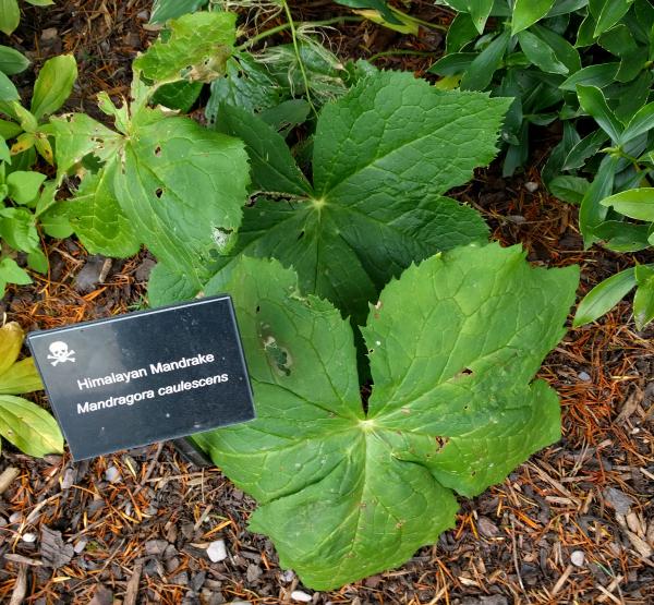 mandrake-poison-garden-blarney-castle-ireland-taken-8-13-16-by-ff