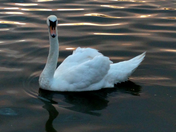 swan-1-cork-lough-ireland-taken-8-10-16-by-ff